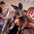 Joey the Wallaby gets a lift during mechanical installations at Rehabitat.